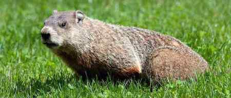 A woodchuck, yesterday